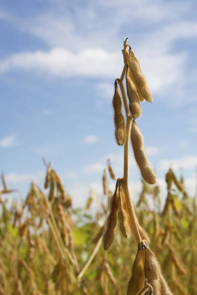 Photograph - Maturing Soybeans by Dylan Punke