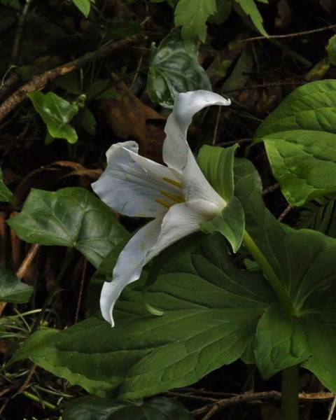 Photograph - Silent Touch Of The Trillium  by Charles Lucas