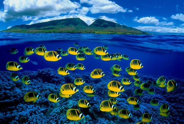 Raccoons Photograph - Maui Butterflyfish by Dave Fleetham - Printscapes