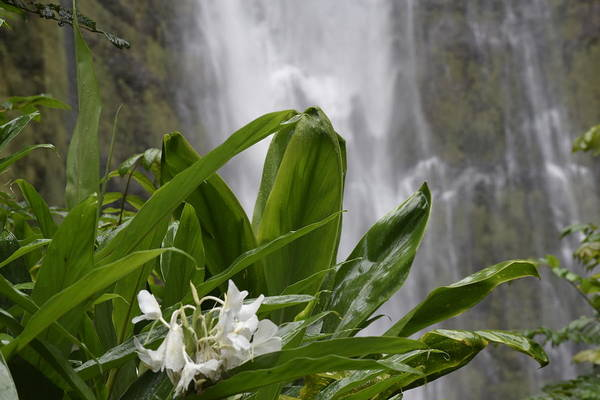 Wall Art - Painting - Maui Waterfall And Tropical Flowers by Janet Gervers