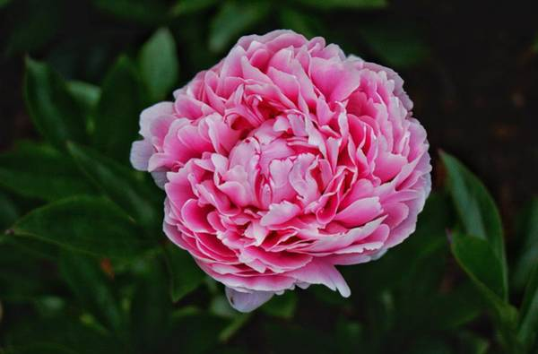 Photograph - May Peony by Chris Berrier
