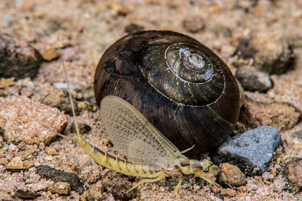 Pterygota Wall Art - Photograph - Mayfly Passing A Snail by Douglas Barnett