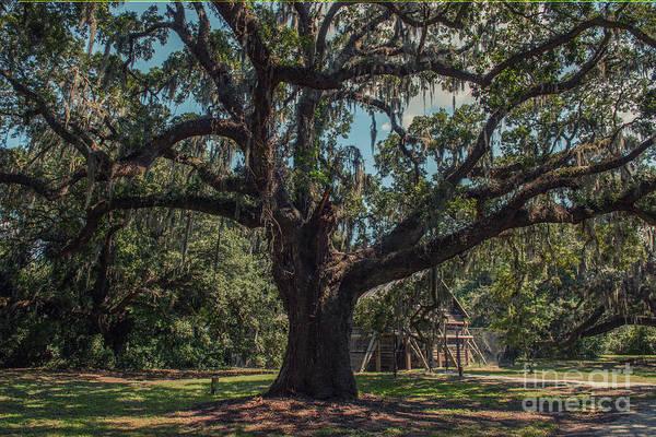 Photograph - Mcleod Plantation Live Oak Tree by Dale Powell