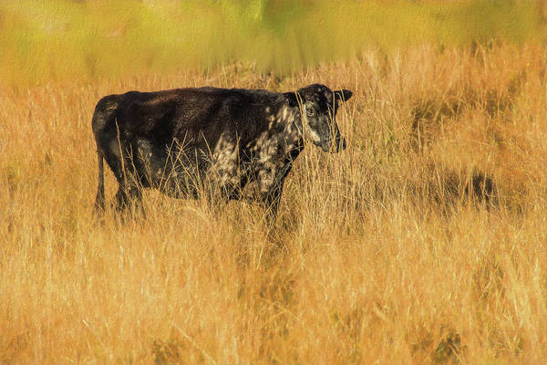Photograph - Meadow Bovine by Richard Goldman