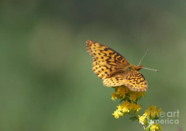 Photograph - Meadow Fritillary by Randy Bodkins