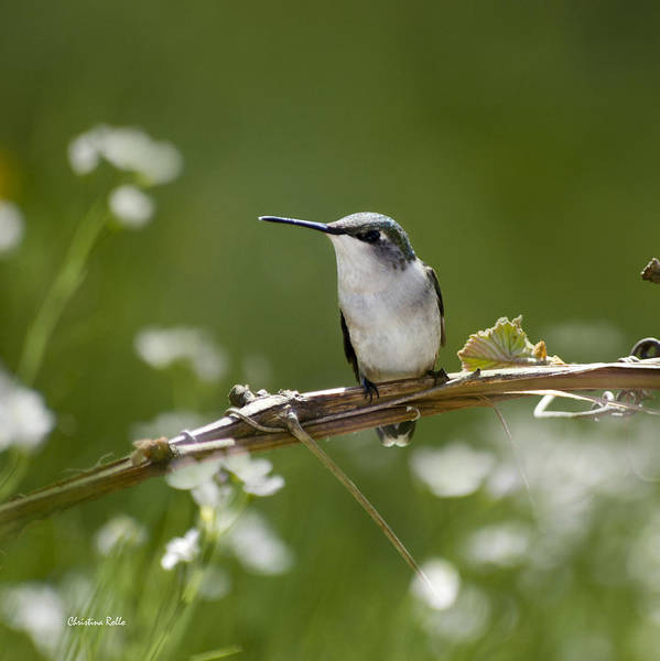 Wall Art - Photograph - Meadow Hummingbird Square by Christina Rollo