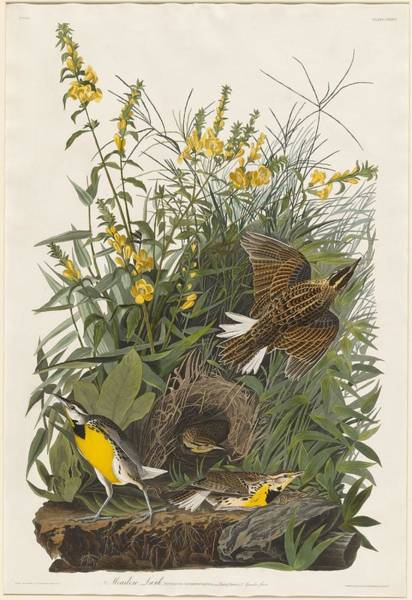 Wall Art - Drawing - Meadow Lark by Dreyer Wildlife Print Collections