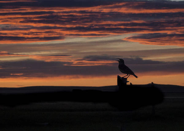 Meadow Lark's Salute To The Sunset Art Print