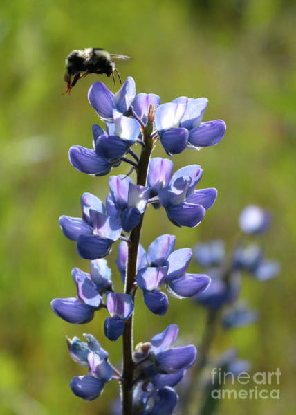 Photograph - Meadow Lupine With Bee by Carol Groenen