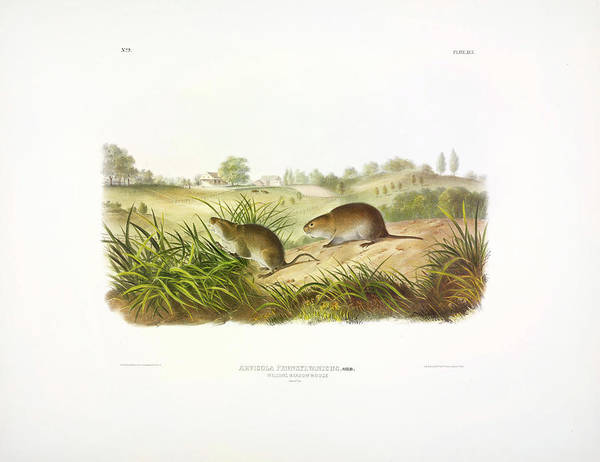 Wall Art - Painting - Meadow Mouse by John James Audubon