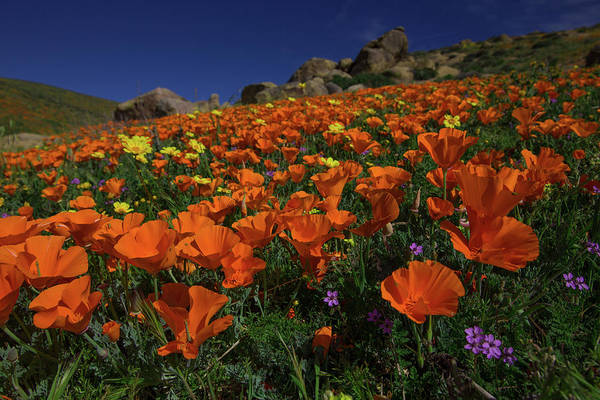 Wall Art - Photograph - Meadow Of California Poppies In A Rock Garden In The Tehachipi M by Bridget Calip