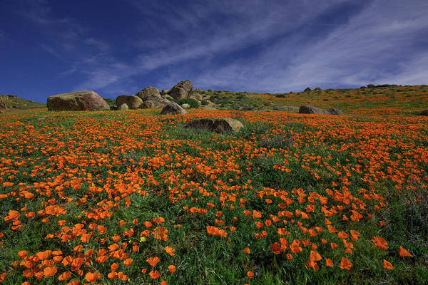 Wall Art - Photograph - Meadow Of California Poppies With Blue Skies And High Clouds In  by Bridget Calip