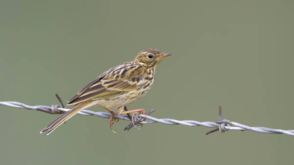 Photograph - Meadow Pipit by Peter Walkden