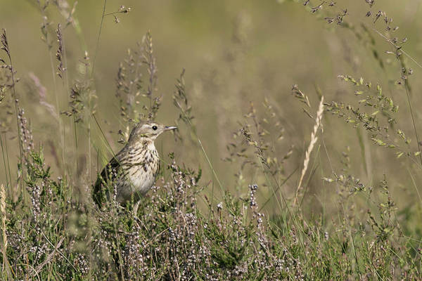 Photograph - Meadow Pipit by Wendy Cooper