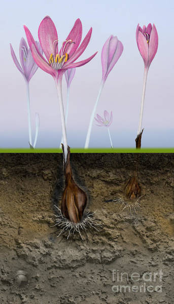 Painting - Meadow Saffron - Naked Lady - Autumn Crocus Colchicum - Colchiqu by Urft Valley Art