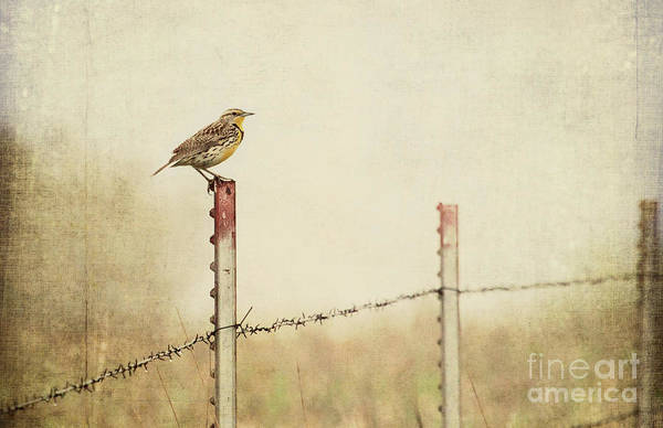 Photograph - Meadowlark On A Post by Pam  Holdsworth