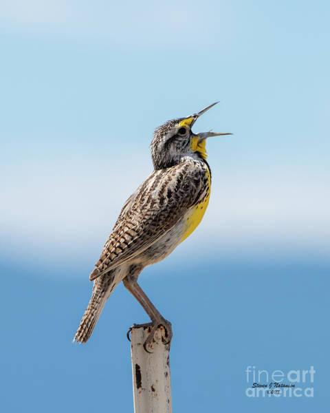 Photograph - Meadowlark Singing by Steven Natanson