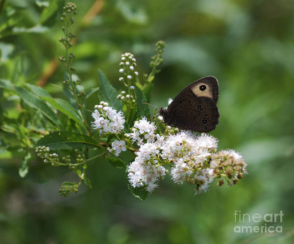 Photograph - Meadowsweet Wood Nymph by Randy Bodkins