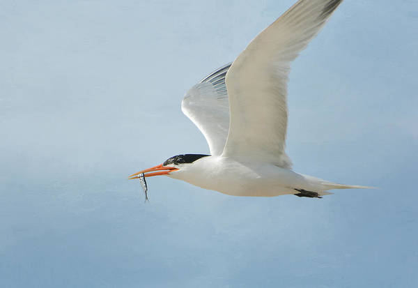 Elegant Tern Wall Art - Photograph - Meal Delivery by Fraida Gutovich