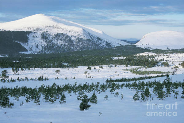 Photograph - Meall A Bhuachaille - Glenmore Forest by Phil Banks