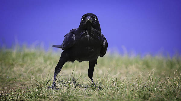 Photograph - Menacing Crow by Chris Cousins