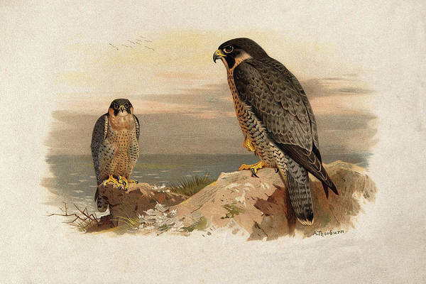 Bird Watercolor Mixed Media - Mediterranean Peregrine By Thorburn by Archibald Thorburn