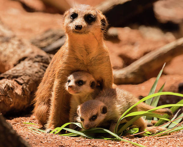 Photograph - Meerkat Family II by Dawn Currie