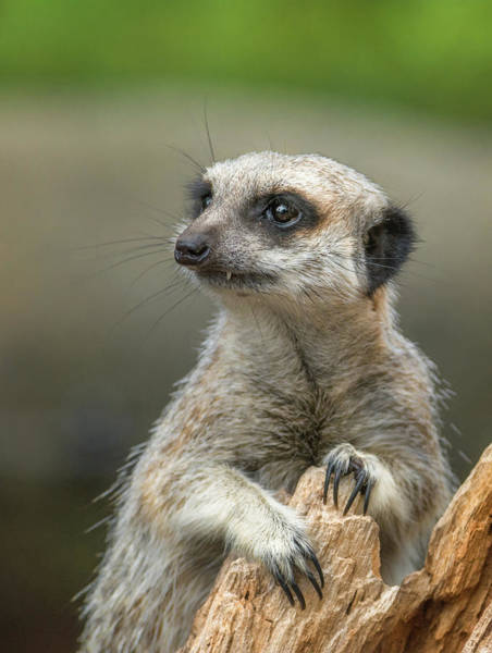 Photograph - Meerkat Model by Racheal Christian