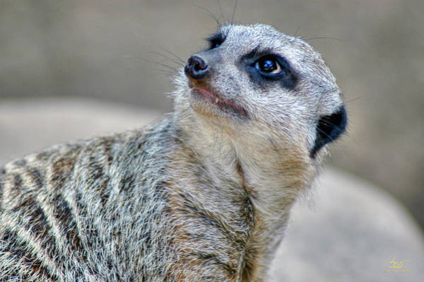 Photograph - Meerkat by Sam Davis Johnson