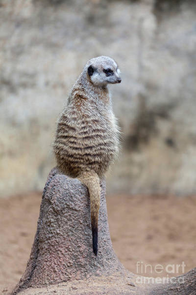 Meerkat Sitting And Looking Right Art Print