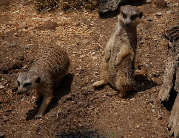 Photograph - Meerkats by Chris Flees