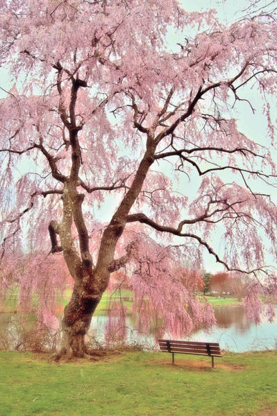 Photograph - Meet Me Under The Pink Blooms Beside The Pond - Holmdel Park by Angie Tirado