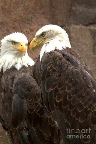 Photograph - Meeting Of The Eagles Portrait by Adam Jewell
