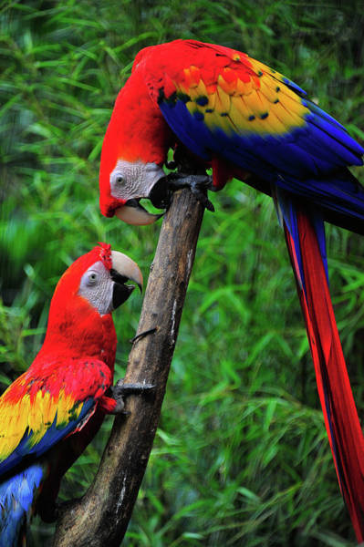 Photograph - Meeting Of The Macaws  by Harry Spitz