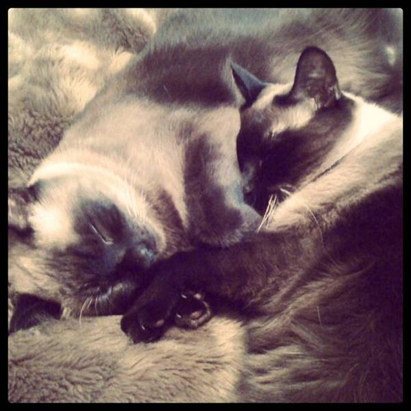 Photograph - #meezers #siamese #cats #lotusandbamboo by Patricia And Craig