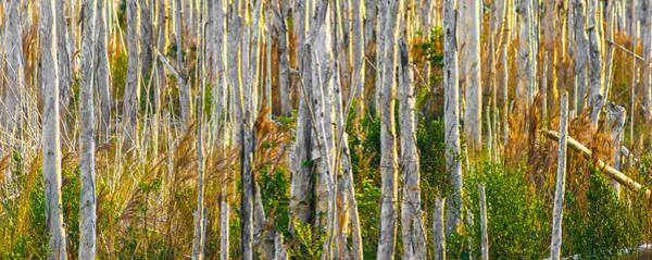 Photograph - Melaleucas by Ed Gleichman