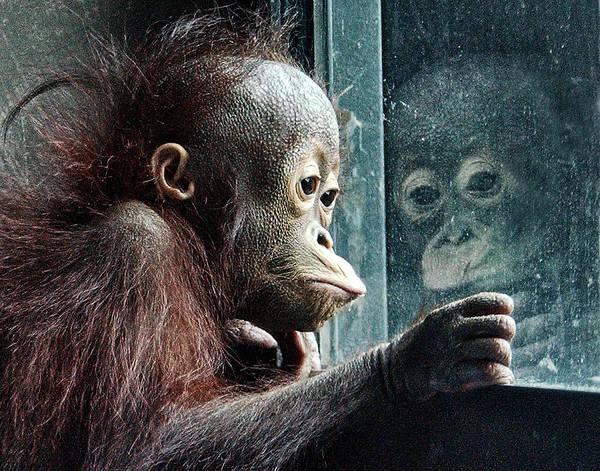 Orangutan Photograph - Melancholy Baby by Wade Aiken