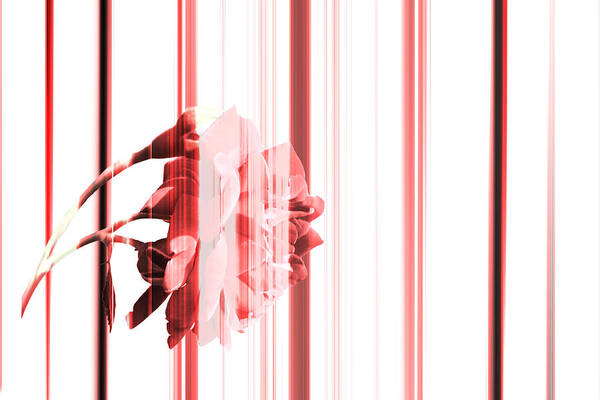 Wall Art - Photograph - Melancholy Rose by Rabiri Us