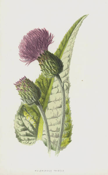 Thistle Wall Art - Painting - Melancholy Thistle by Frederick Edward Hulme