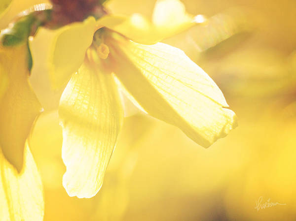 Photograph - Mellow Yellow by Kharisma Sommers