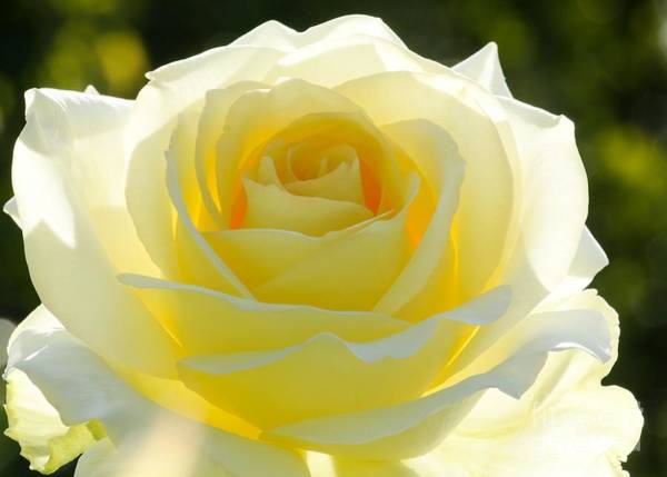 Photograph - Mellow Yellow Rose by Sabrina L Ryan