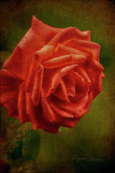 Photograph - Melodramatic Red Rose by Reynaldo Williams