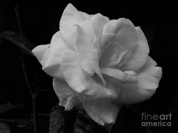 Mendocino Rose01 Art Print