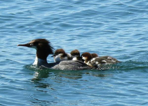 Photograph - Merganser And Her Chicks by Dennis McCarthy