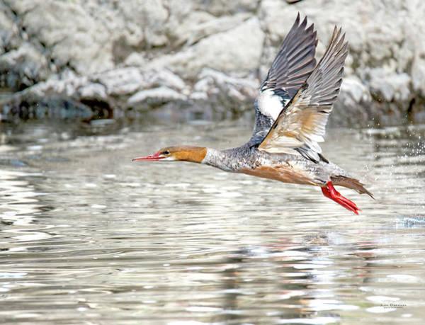 Photograph - Merganser Flying Away by Judi Dressler