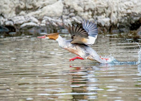 Photograph - Merganser Running On The Water by Judi Dressler