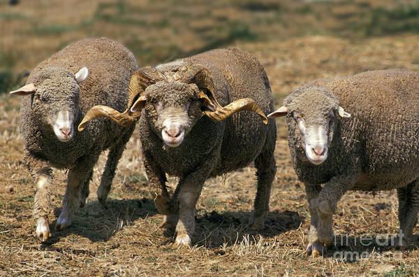 Ovine Photograph - Merino Darles Sheep by Gerard Lacz