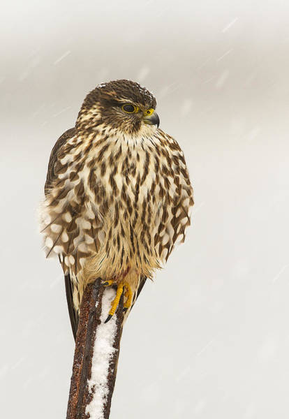 Photograph - Merlin In A Snow Storm by John Vose