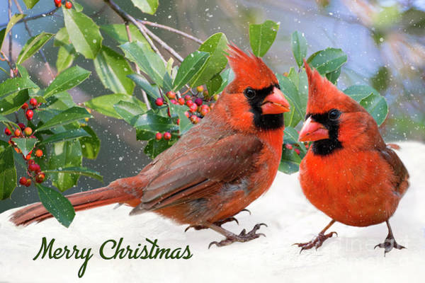Wall Art - Photograph - Merry Christmas Northern Cardinals by Bonnie Barry