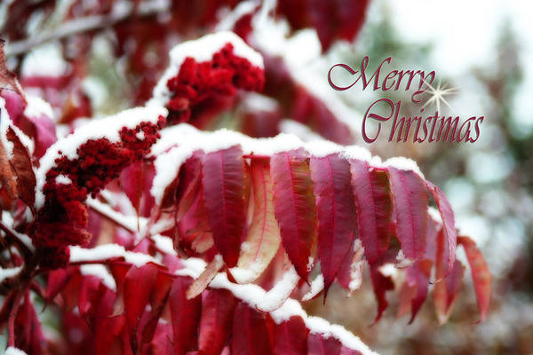Photograph - Merry Christmas Red Leaves  by Cathy Beharriell